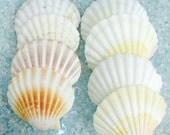 "Seashells - 3 Large Irish Cup Shells - 3"" - 4"" - White, Brown, Yellow"