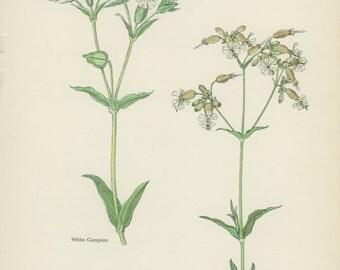 Vintage Wild Flower Print, White Campion, Bladder Campion, Botanical Flower (41) Natural History, Blossom Art, 1963, Svolinsky
