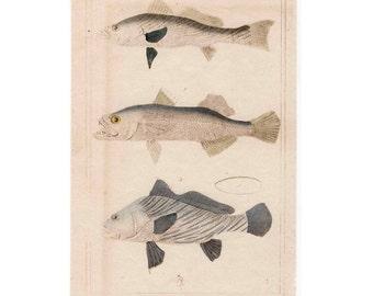 1837 FISH FISHES print original antique sea life ocean lithograph