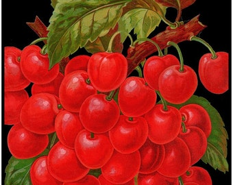 antique victorian  botanical print pompom red cherries on black background digital download