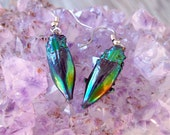 Real Beetle Earrings Cyphogastra calepyga Rainbow Jewel Entomology