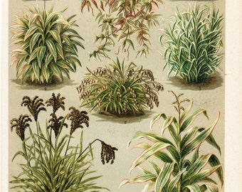 1893 Antique BOTANICAL print, ARACEAE, grasses, chromolithograph