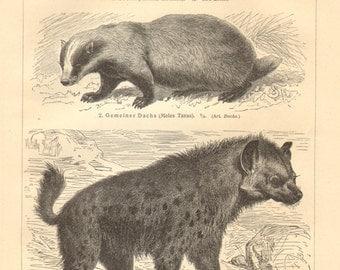1909 Carnivora, Sable, European Badger, Spotted Hyena, European Pine Marten, Beech Marten, African Civet, Egyptian Mongoose Vintage Print