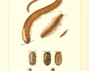 1956 Millipedes and Pill-bugs, Ophyiulus fallax, Polydesmus complanatus, Glomeris marginata, Common Pill-bug Vintage Offset Lithograph