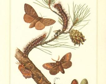 1956 Lappet or Snout Moths, Lasiocampidae, Pine-tree Lappet - Dendrolimus pini Vintage Offset Lithograph
