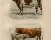 1885 Original Antique Cattle Print, French Hand Colored Engraving, Bull, Cow and Calf, Buffon