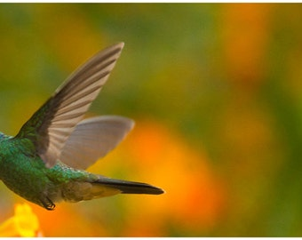 Nature in action: Green Violet-ear Hummingbird. Limited edition signed, archival giclée print guaranteed fade-resistant for 75years.