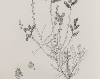 Bog Myrtle or Sweet Gale - Large Antique Botanical Print in Monochrome or Black and White
