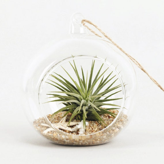 air plants tillandsia diy terrarium kit ionantha mini. Black Bedroom Furniture Sets. Home Design Ideas