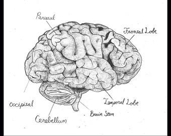 "Brain Anatomy, signed 8.5""x11"" print"