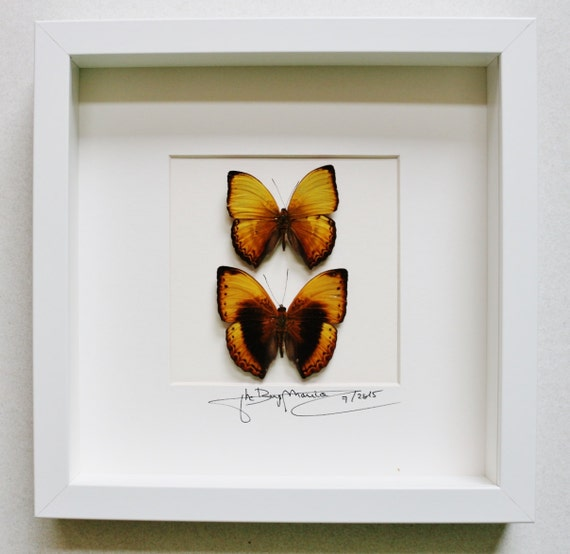 Artframe with real insects : Topquality display with nice duo of cymothoe from Central africa, nymphalidae butterflies FREE SHIPPING