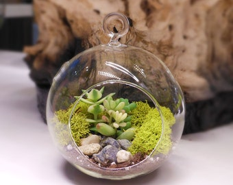 "Floralistic ""All-Inclusive"" Do-It-Yourself DIY Terrarium Kit - Supplies, Terrarium Glass, Mini Succulent, Soil, Moss, and Pebbles Included"