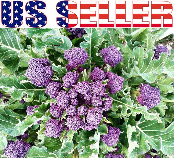 100 ORGANIC Purple Sprouting Broccoli Seeds Heirloom NON-GMO