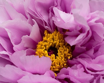 Pink Peony Photography Art Photograph Photo Print Home Wall Decor Flowers Floral Pink Yellow Close Up
