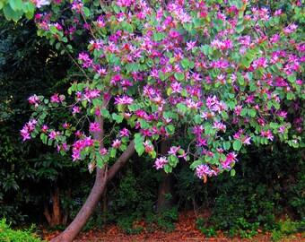 Bauhina Varigata Orchid Tree 4 Seeds