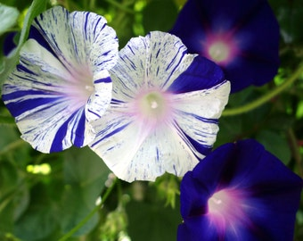 Morning Glory Flower Seeds Purple White Mix Striped Shibori Purple Flowering Vine Annual Climing Vine 25 Seeds Violet Morning Glory Seeds