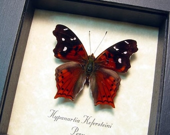 Real Framed Hypanartia Kefersteini Red Mapwing Butterfly 8343