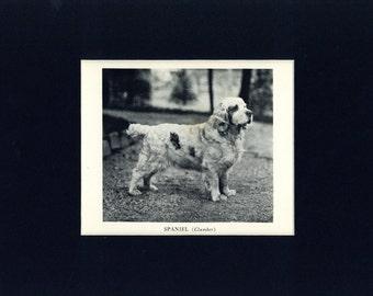 1935 Vintage Clumber Spaniel Sporting Dog Print