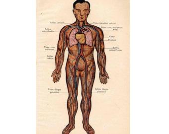 1907 HUMAN ANATOMY CIRCULATION blood original antique medical anatomy lithograph
