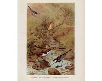 1910 WAGTAIL BIRDSprint original antique bird lithograph