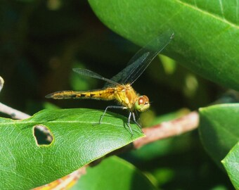 HAPPY DRAGONFLY..Dragonfly Wall Art& Home Decor..Nature Photography by  Trish Helsel Creations