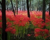 Limited Time for Shipping Red Spider Lily Bulbs Beautiful  Lycoris radiata Hurricane Lily