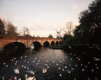 English Photography, Swans, Fine Art Print, Stratford-Upon-Avon, Beautiful, Serene, Idyllic, Landscape, River, Avon
