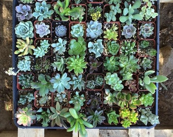 """40 Assorted potted Succulent Collection 2"""" plastic pots succulents great for wedding gifts & FAVORS+"""