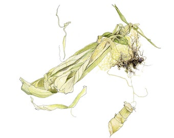 Cornhusk, Watercolor Nature Illustration, Original