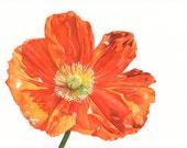 Poppy print of watercolour painting A4 size medium print P5015 Botanical art