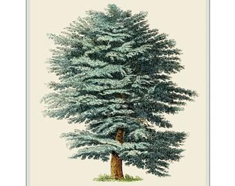 Cedar of Lebanon Tree Fine Art Print. Cedar Furniture. Arboriculturist. Cedar Wood Arboretum. Cedar Tree Print