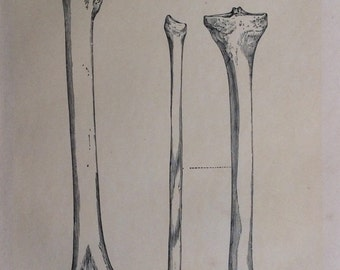 Antique 1890s Medical Anatomy Diagram LEG BONES Skeleton  Victorian Bookplate