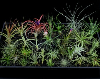 FREE SHIPPING-Collection of 30 Diff. Airplants/Tillandsia Species