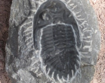 Fossil Trilobite / free shipping usa