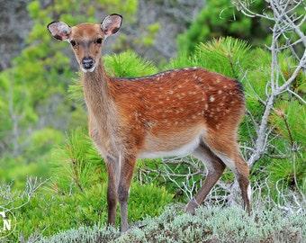 Sika Deer, Assateague Island, Maryland, Nature Photography, Animal Photography, Wildlife, Fine Art, Spots, Young Buck