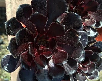 "Medium Succulent Plant. Black Rose ""Zwartkop"".  Deep purple coloring of this beautiful rosette is almost black."