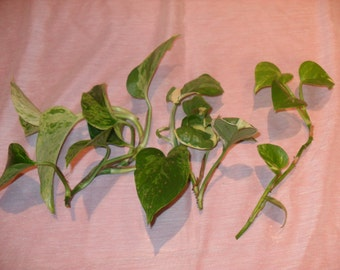 "3 ""POTHOS CUTTINGS"" One Cutting From Each Of 3 Different Unique Varieties!"