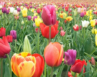 Tulips (Art Prints available in multiple sizes)
