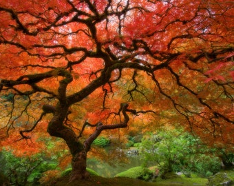 Japanese Maple (Art Prints available in multiple sizes)