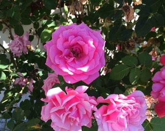 Pink Roses (unframed)