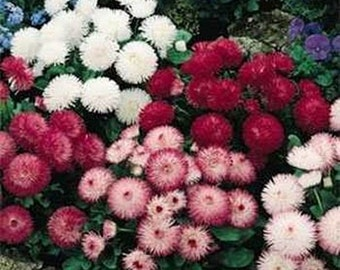 Bellis- Mix colors- 100 seeds