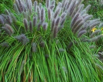 Black Chinese Fountain Grass  10 seeds