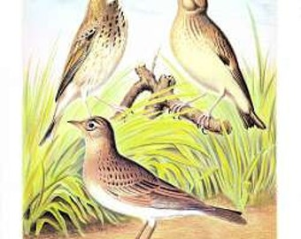 Tree Pipit / Skylark / Woodlark