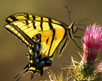 Swallowtail Luminance