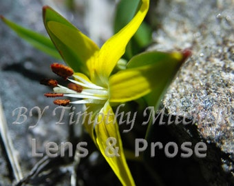 Digital Download Yellow Flower by Timothy Mitchell Nature photography