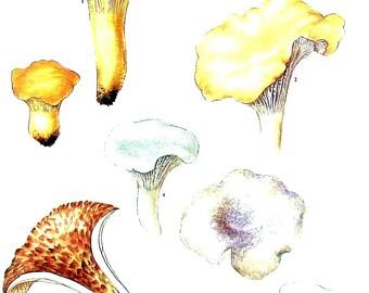 Mushroom Print - Species Cantharellus - Kitchen Decor - Food Decor - 1972 Vintage Book Print - 11 x 8