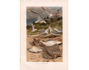 1903 FLAT FISH & SEAGULLS print original antique ocean lithograph