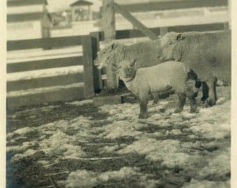 "Vintage Photo ""Sheep Gang"" Farm Animal Snapshot Photo Old Antique Photo Black & White Photograph Found Photo Paper Ephemera Vernacular - 159"