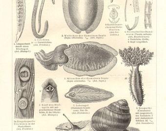 1909 Molluscs, Lower Animals, Cephalopod, Annelid, Sea Cucmuber, Gastropod, Sponge, Sea Urchin, Bivalve, Sea Squirt, Coral Vintage Print