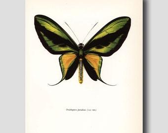 "Butterfly Art (Dorm Decor, Loft Decor, Bedroom Decor) Vintage ""Tailed Birdwing"" No. 56-1"
